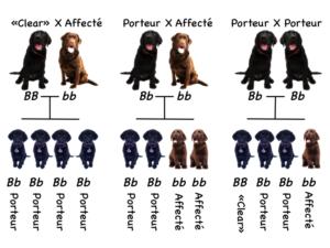 Genetique des chiens 101 heredite
