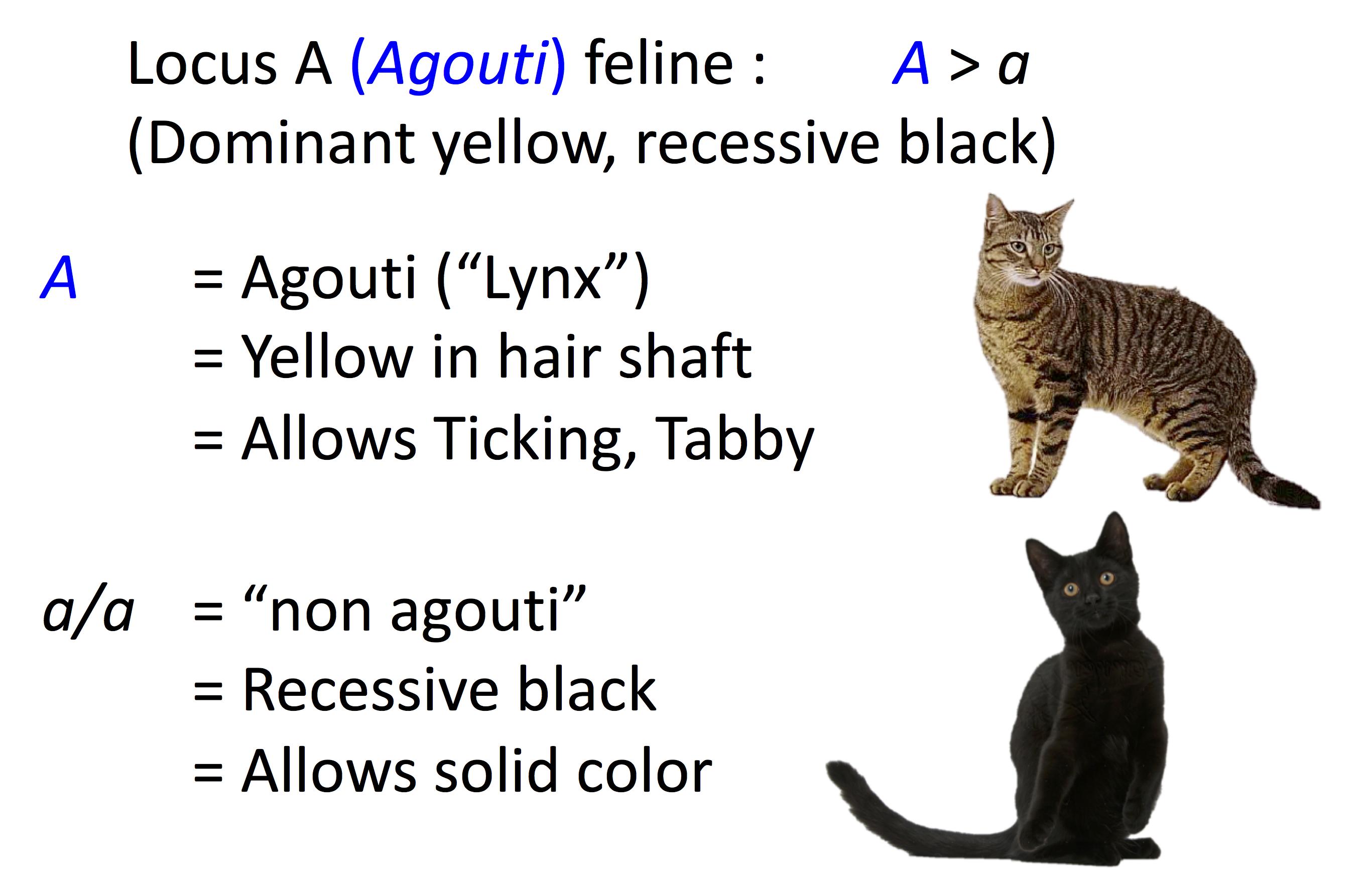 Cat Genetics 20 Colours Laboratoire De Gntique Vtrinaire