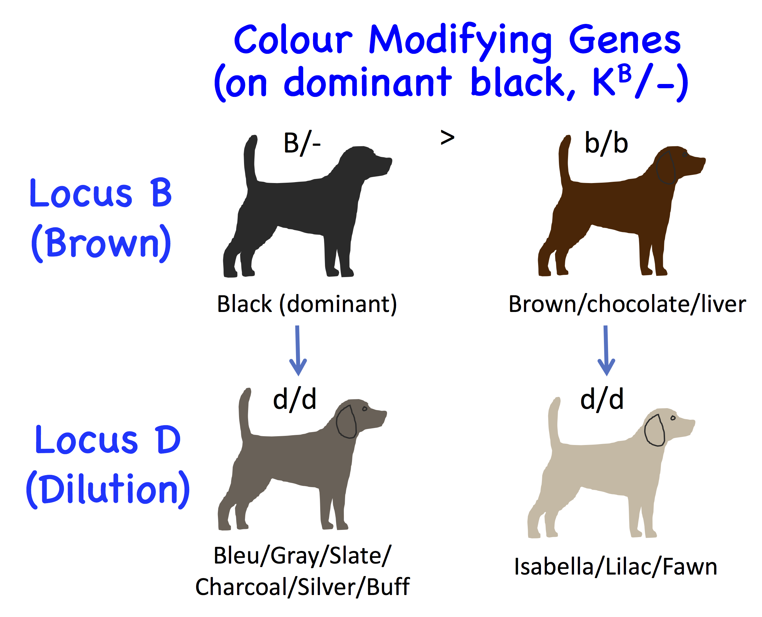 The Genetics of the Dog