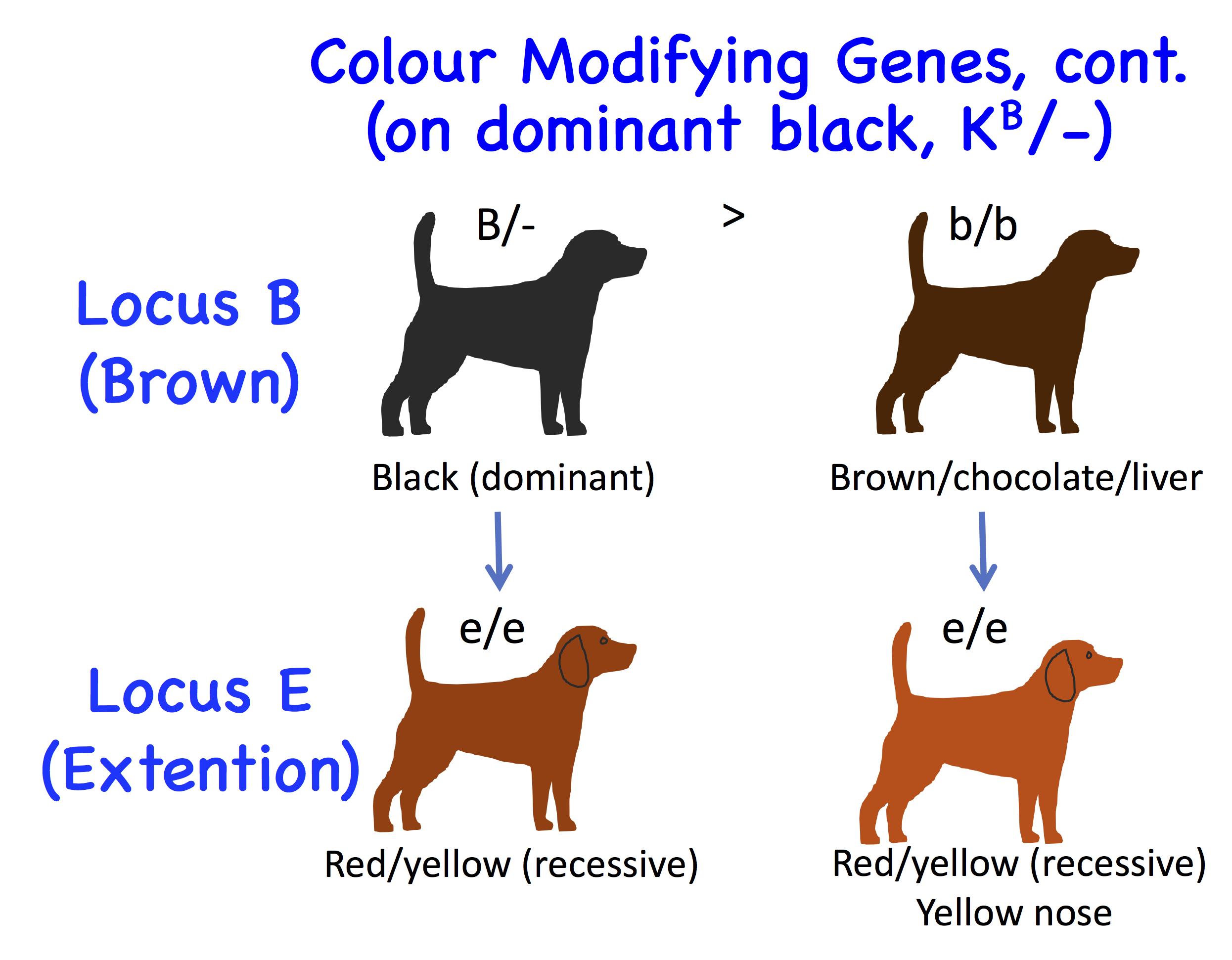 Dog Genetics 20 Colours Laboratoire De Gntique Vtrinaire